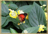Céthosia biblis (Cethosia biblis)