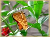 Flambeau (Dryas julia)