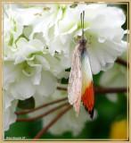 Grande piéride disparate (Hebomoia glaucippe)