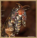 Papillon cobra (Attacus atlas)