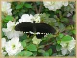 Voilier mormon (Papilio polytes)