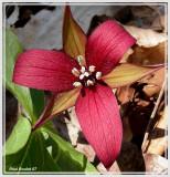 Trille dressé (Trillium erectum)