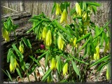Uvulaire à grandes fleurs (Uvularia grandiflora)