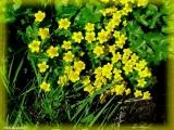 Populage des marais ou Souci d'eau (Caltha palustris)