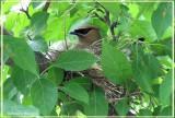 Jaseur d'Amérique (Cedar Waxwing)