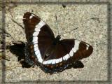 Amiral blanc - Limenitis arthemis