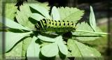 Papillon queue-courte (chenille)