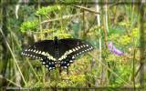 Papillon du céleri - Papilio polyxenes