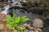 Fern by the Stream