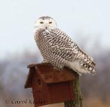 Gallery: Snowy Owls