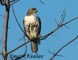 Gallery: Red Tail Hawks