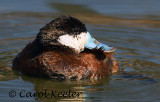 Gallery:Ruddy Ducks