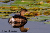 Gallery: Pied Billed Grebes