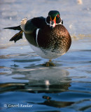 Gallery:Wood Ducks