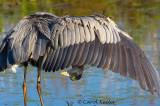 Peek-A-Boo Heron