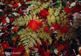 Red Leaves and Ferns