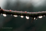 Raindrops on Rose Branch