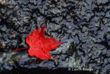 Red Leaf on Wet Rock