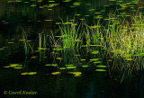Cattails and Lilypads