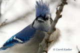 Bluejay Bad Hair Day