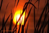 Sun Through Reeds