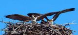Osprey Babies Excercising