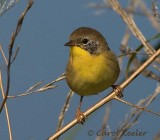 Immature Yellowthroat