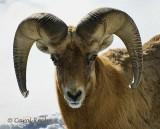 Great Horned Sheep Portrait