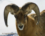 Great Horned Sheep Portrait .