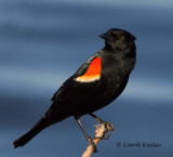 Red Wing Blackbird