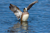 Wigeon Flapping