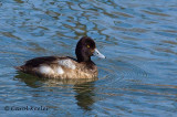 Gallery:Scaup