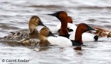 Canvasback Couples