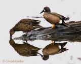 Reflections-Blue Wing Teal Couple