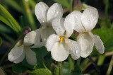 Sweet White Violets