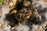 Nest of Cottontail Babies