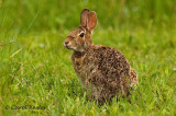Eastern Cottontail-Mr. Hungry