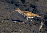 Spotted Sandpiper Strolling Along