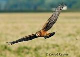 Gallery :Harriers-Marsh Hawk