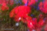 Geraniums and Lobelia