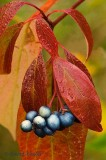 Autumn Gray Dogwood with Berries