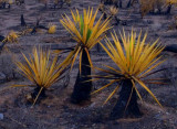 Burnt Yucca-Red Rock Canyon Nevada