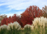 Pampas Bushes and Bradford Pear