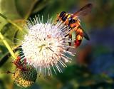 Bee and Seed-Pod