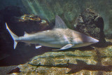 SANDBAR SHARK (Carchahinus plumbeus)