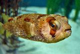 BALLOON FISH (Diodon holocanthus)