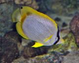 SPOTFIN BUTTERFLY FISH (Chaetodon ocellaris)