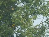 Wielewaal / Golden Oriole