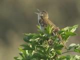 Sprinkhaanzanger / Grasshopper Warbler