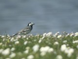 Witte Kwikstaart / White Wagtail